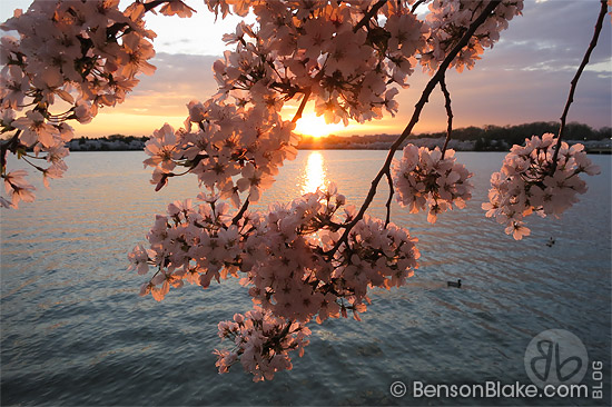 100 Years of DC Cherry Blossoms