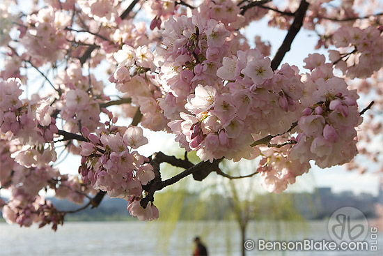 Cherry blossoms in Washington DC 2009