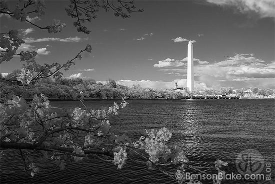 Cherry blossoms in Washington DC 2009 - Washington Monument