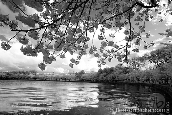 Cherry blossoms in Washington DC 2009 - infrared