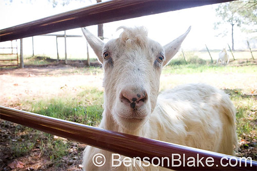 One of Anna & Marty's goats